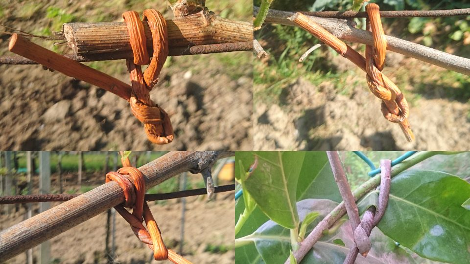 Il salice usato come spago anche nel giardinaggio for Rami di salice