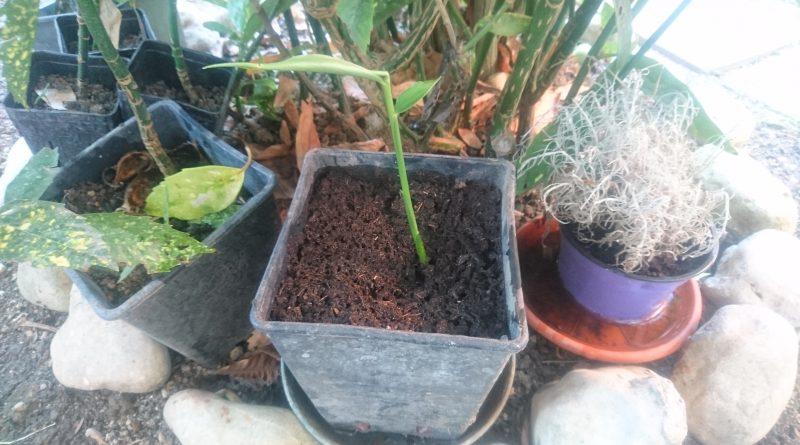 Come piantare lo zenzero in casa cecilia passione for Cosa piantare a dicembre